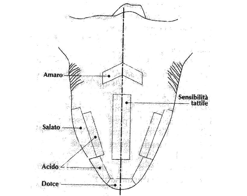 recettori cutanei lingua
