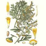 """Artemisia absinthium L, dalla """"fata verde"""" ai potenziali impieghi terapeutici"""