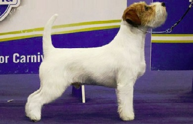 Il Jack Russell Terrier Liscio Broken O Ruvido Rivista