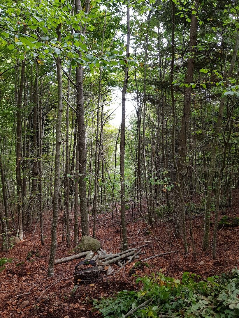 faggeta disetanea rinnovazione forestale piantine
