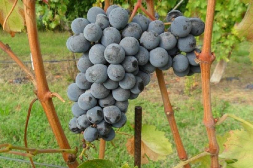 sangiovese grappolo uva