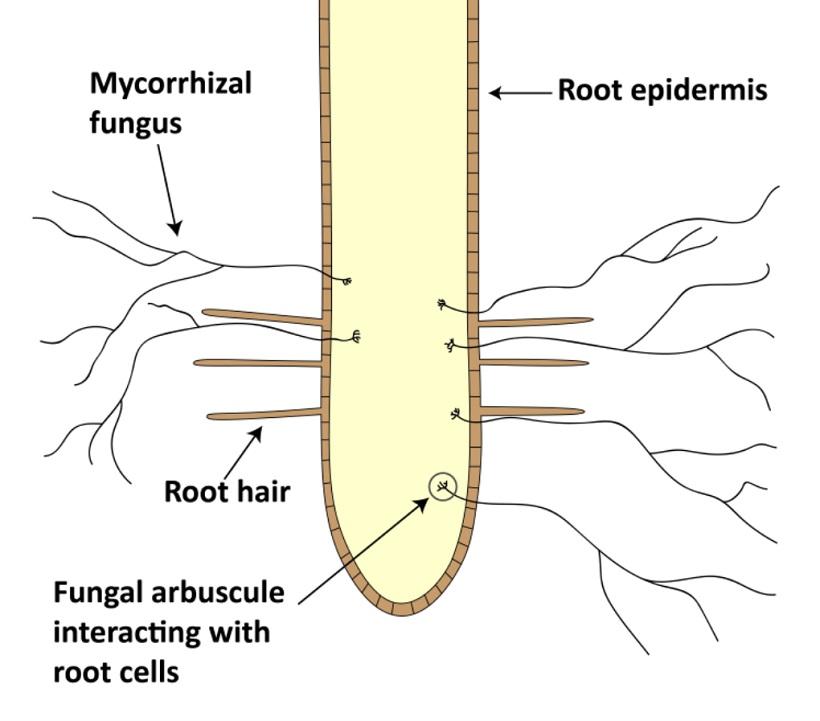 micorrizze funghi radici piante
