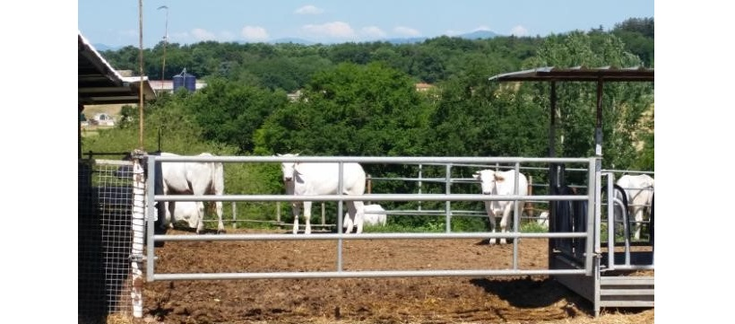 allevamento bovini carne