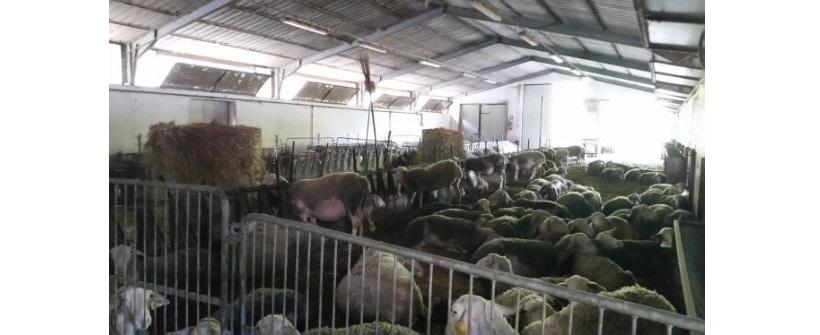 allevaemento capre sarde