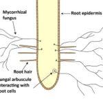 micorrizze piante