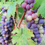 Le sostanze polifenoliche nel vino