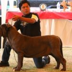 mastino napoletano cane messico