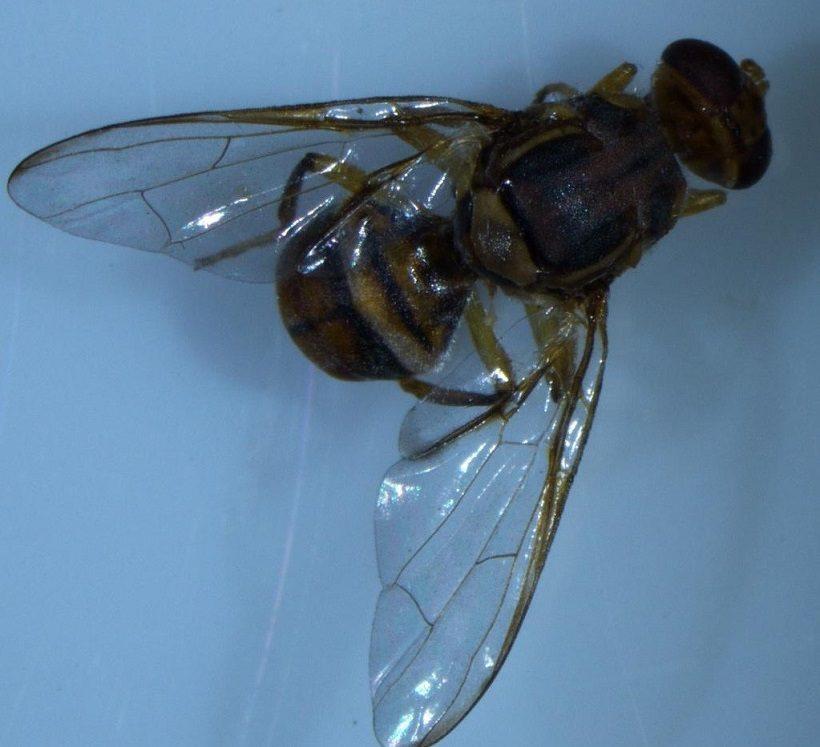 Bactrocera dorsalis mosca
