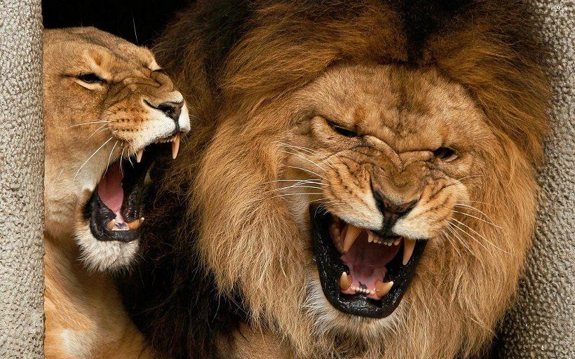 leone animale