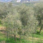 L'Olivicoltura in Toscana tra passato e futuro