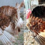 Razze Autoctone Campane – Razze avicole recuperate