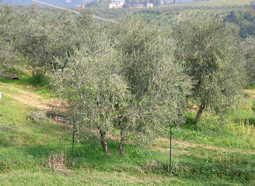 oliveta oliveto olivo toscana campo piante verde