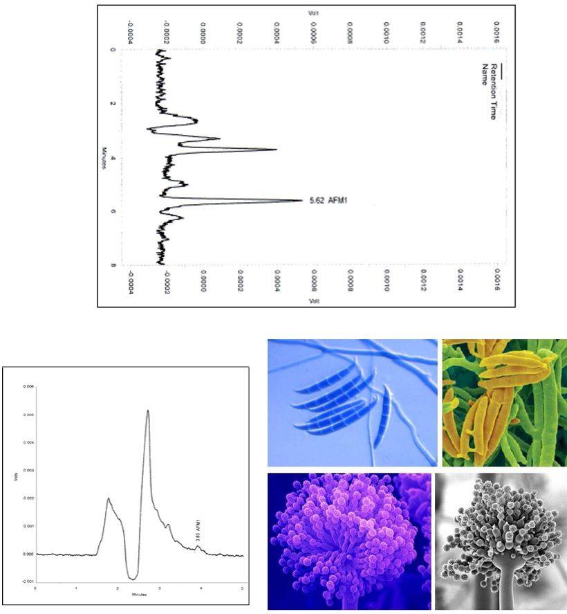 cromatografia micotossine aflatossine mais
