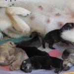 allevamento cuccioli allattamento madri cani