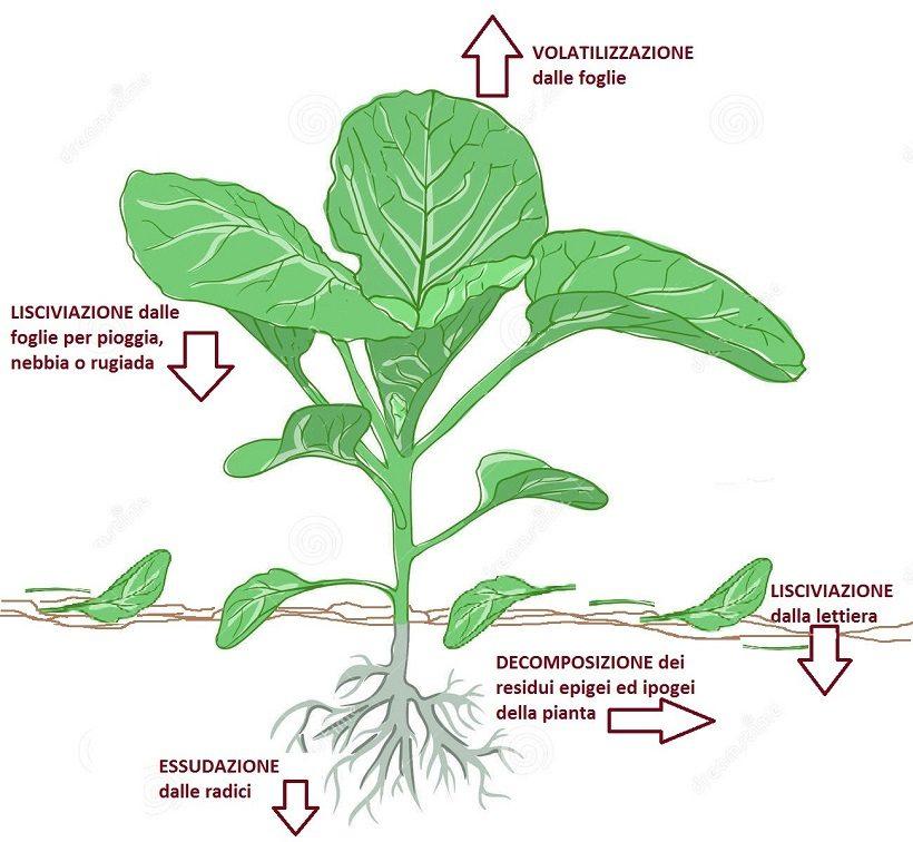 allelopatia piante