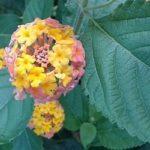 allelopatia piante tossiche tossicità