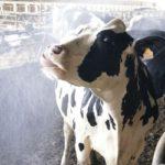 bovini latte stress allevamento
