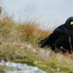 """Il Gracchio Alpino, il piccolo """"corvo-falco"""""""