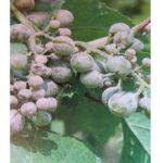 Difesa contro Oidio e Peronospora della vite da vino