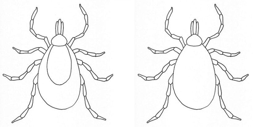 A sinistra una zecca femmina, a destra una zecca maschio