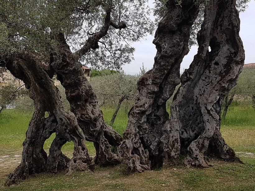 olivo secolare ruralità