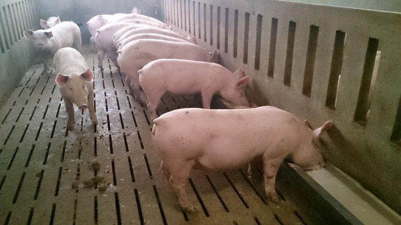 allevamento di maiali prosciutto crudo di cuneo dop