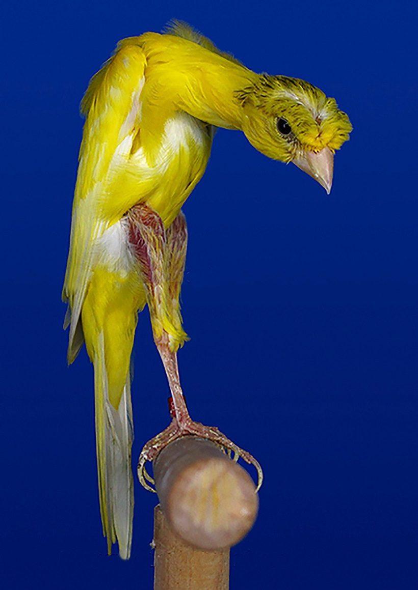 Giraldillo Sevillano canarino uccello