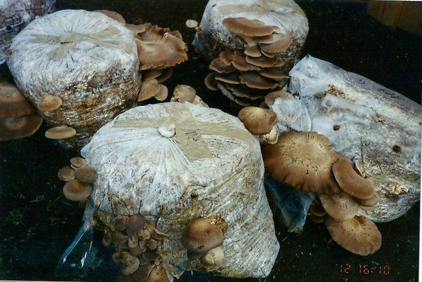 funghi ferula fruttificazione