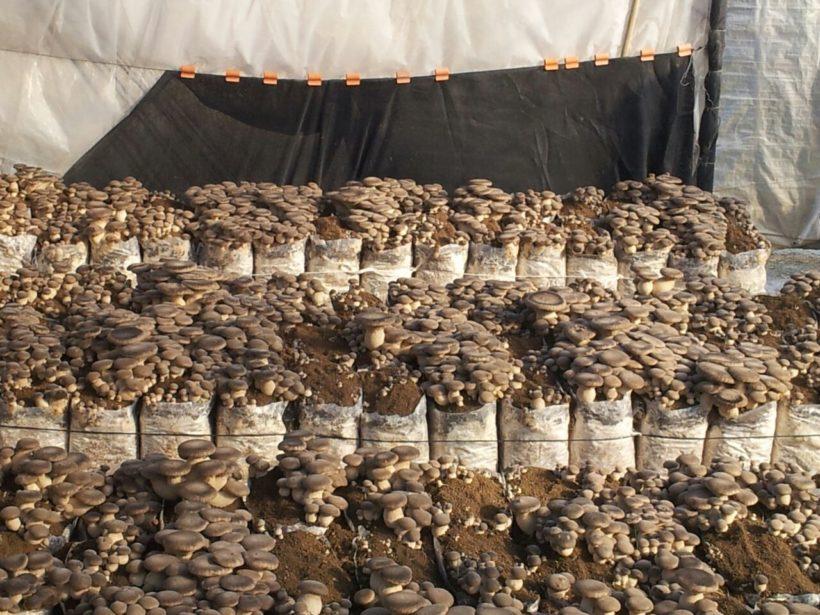 fungo cardoncello plerotus coltivazione substrato