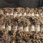 coltivazione cardoncello plerotus fungo funghi