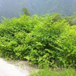 Poligono del Giappone, una pianta alloctona molto invasiva