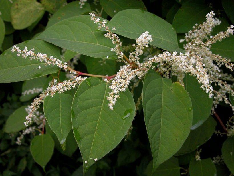 infiorescenze fiori poligono del giappone pianta