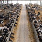 calcolo plv azienda zootecnica bovine da latte
