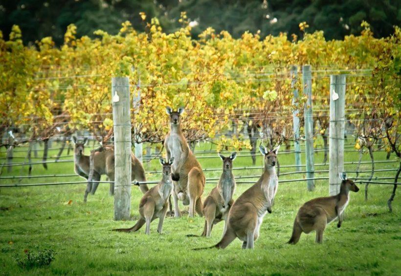 vino australia vigna canguri