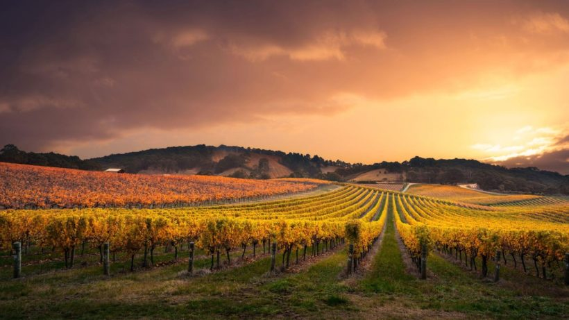 vigneto autralia vino uva