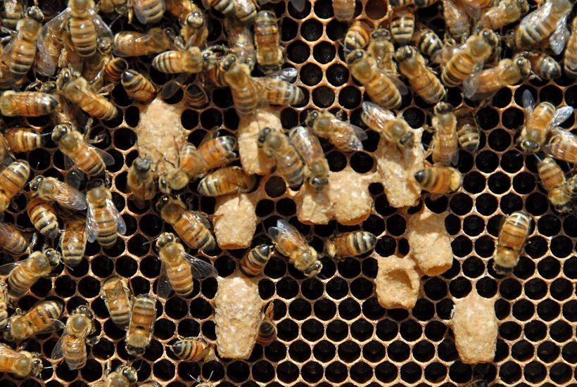 celle reali api abbozzi sciamatura artificiale