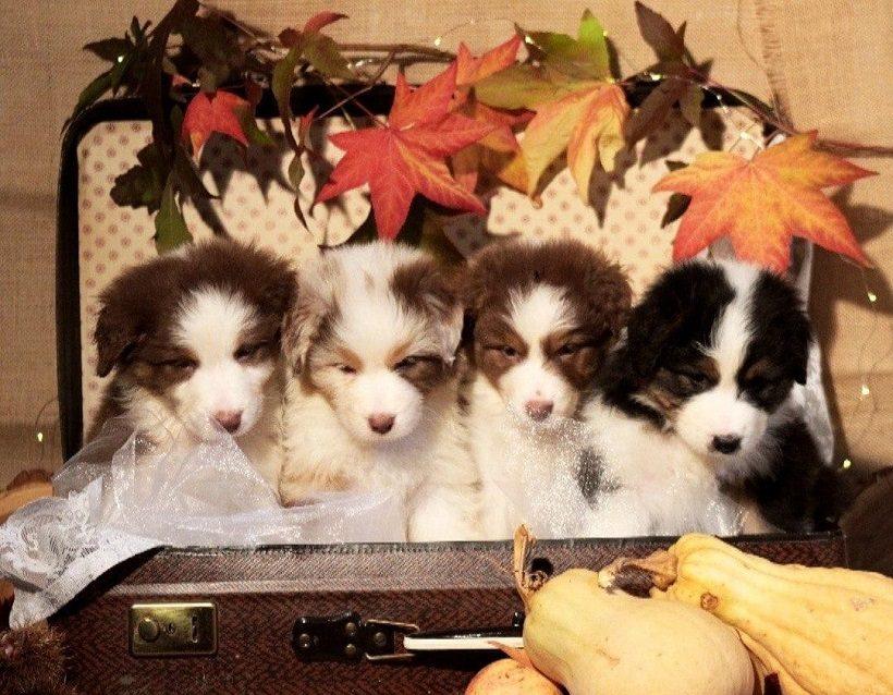 Cuccioli di Australian Shepherd cane