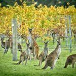 vino australia
