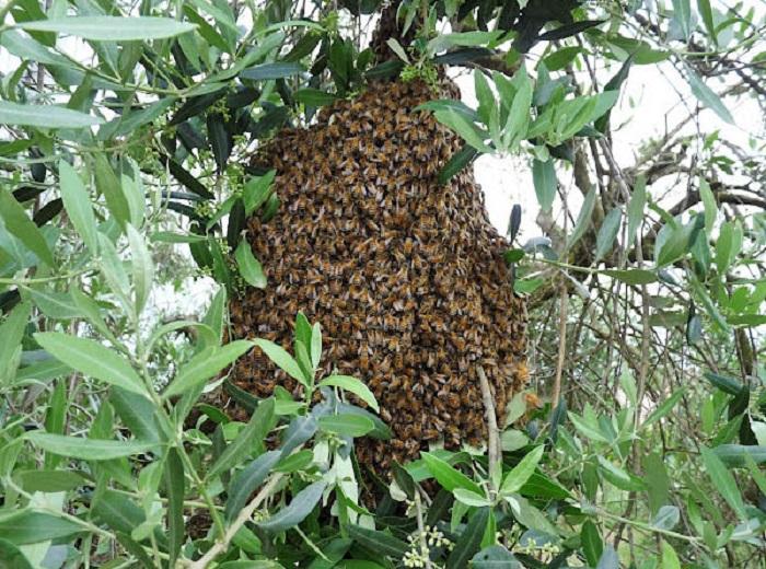 sciame-albero api sciamatura artificiale