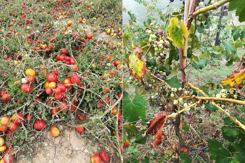 pomodori danni agricoltura