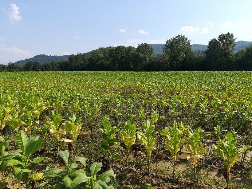 tabacco campo danni agricoltura assicurazione