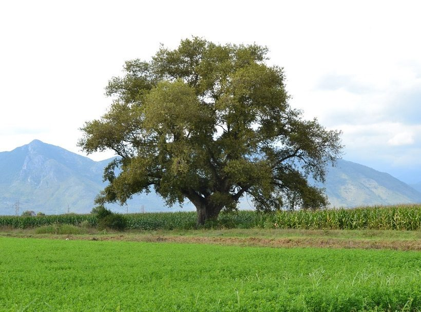 alberi monumentali linee guida ministero forestale