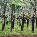 Vigne Asolo Prosecco