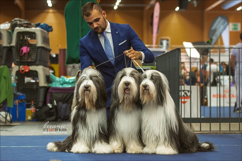 Bearded Collie cane cani