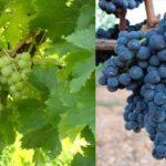 Composti fenolici di uve e relativi vini di vitigni autoctoni minori della Puglia