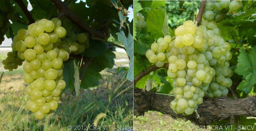 grappolo uva chardonnay ribolla gialla vino organge
