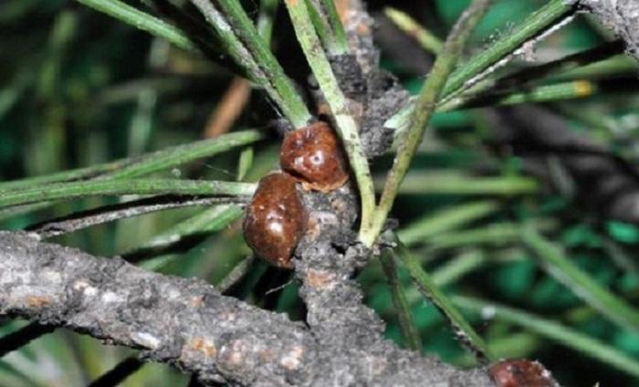 cocciniglia tartaruga pinete