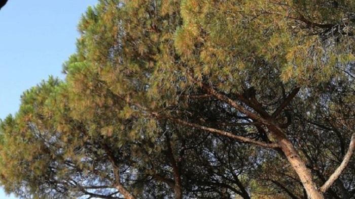 pineta cocciniglia