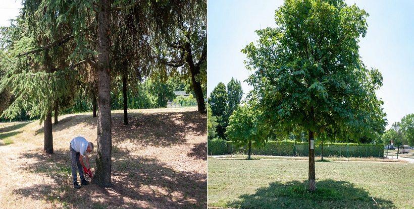 endoterapia trattamento pianta pino pineta cocciniglia