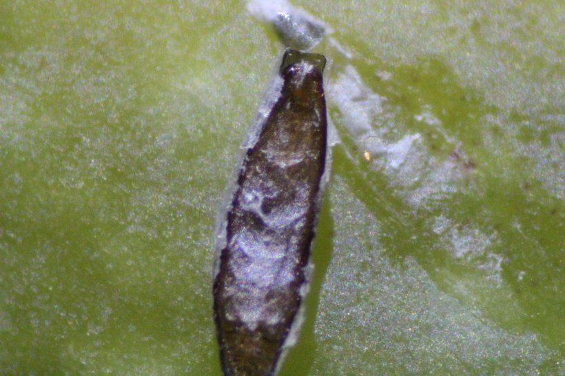 Lepidosaphes ulmi velo ventrale insetto foglia danno